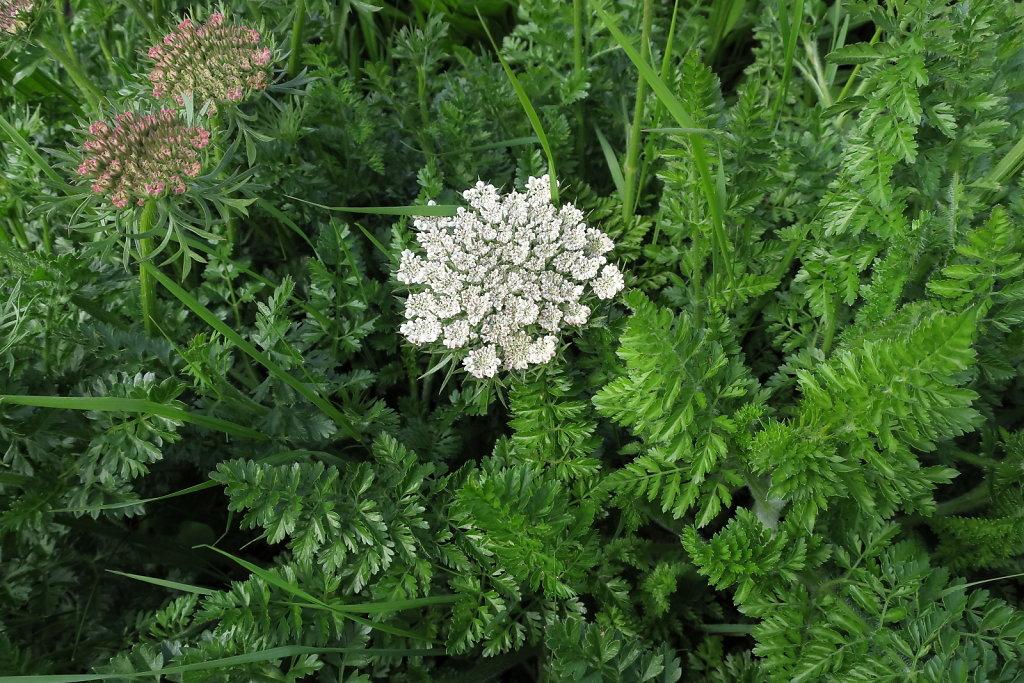 Apiaceae (Umbellifers)