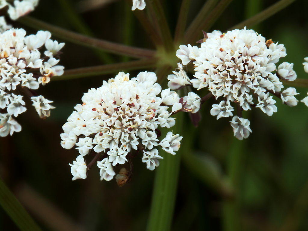 Oenanthe lachenalii (Parsley Water-dropwort)
