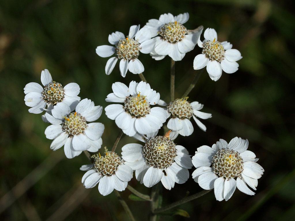 Achillea ptarmica (Sneezewort)