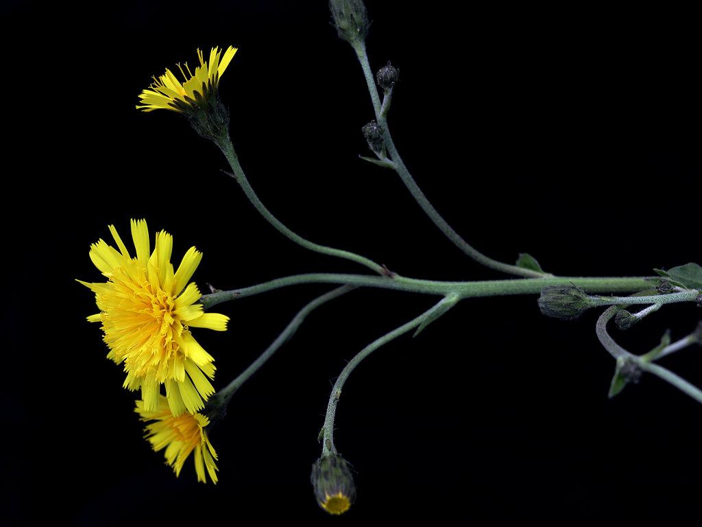 Hieracium sect. sabauda (Hawkweed)