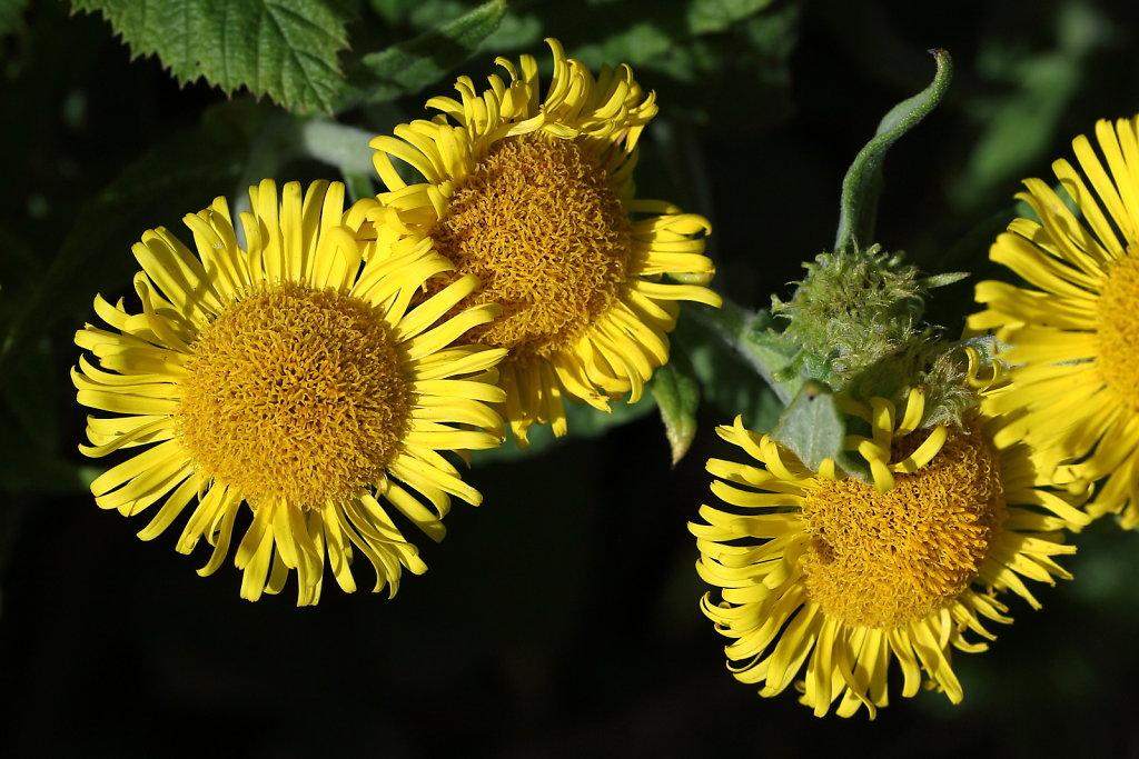 Pulicaria dysenterica (Common Fleabane)