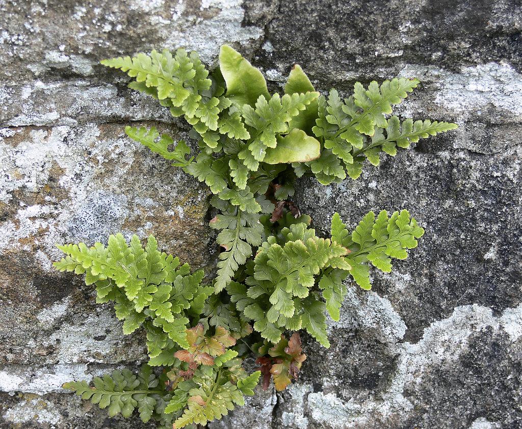 Asplenium adiantum-nigrum (Black Spleenwort)