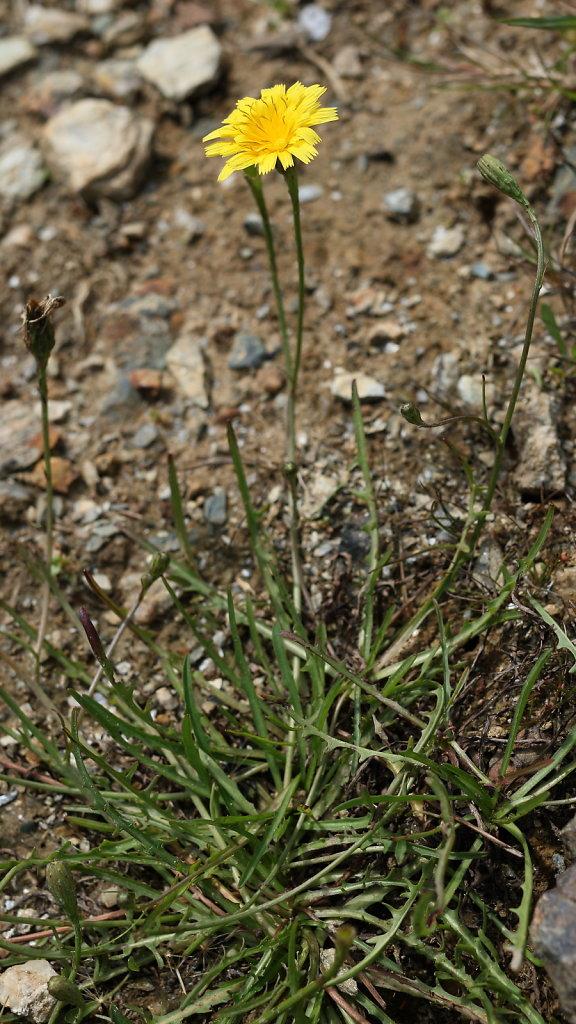 Scorzoneroides autumnalis (Autumn Hawkbit)