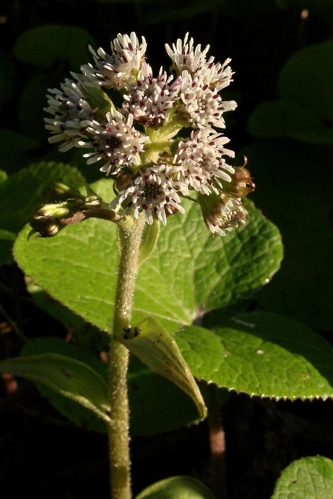 Petasites fragrans (Winter Heliotrope)