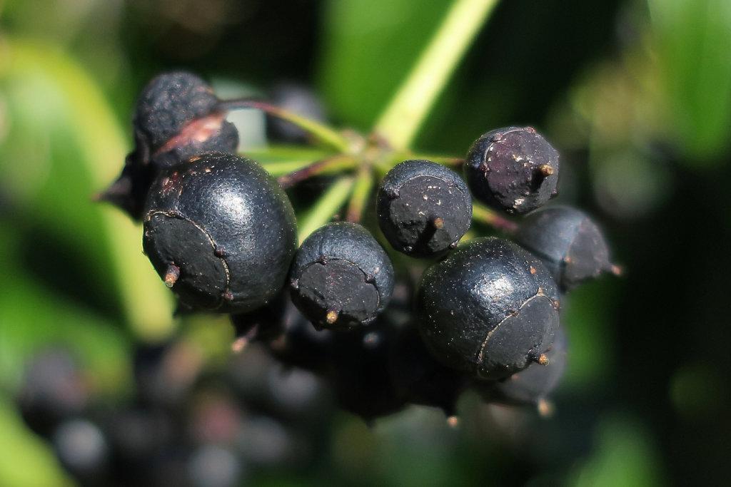 Araliaceae (Ivy)