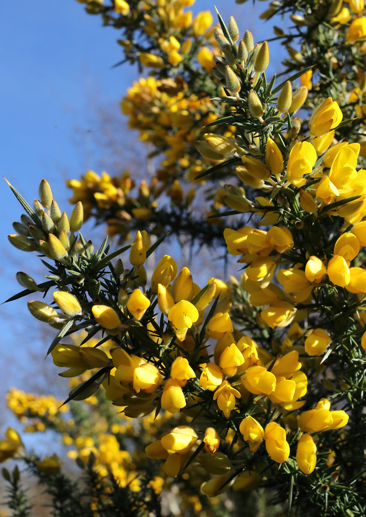 Ulex europaeus (Common Gorse)