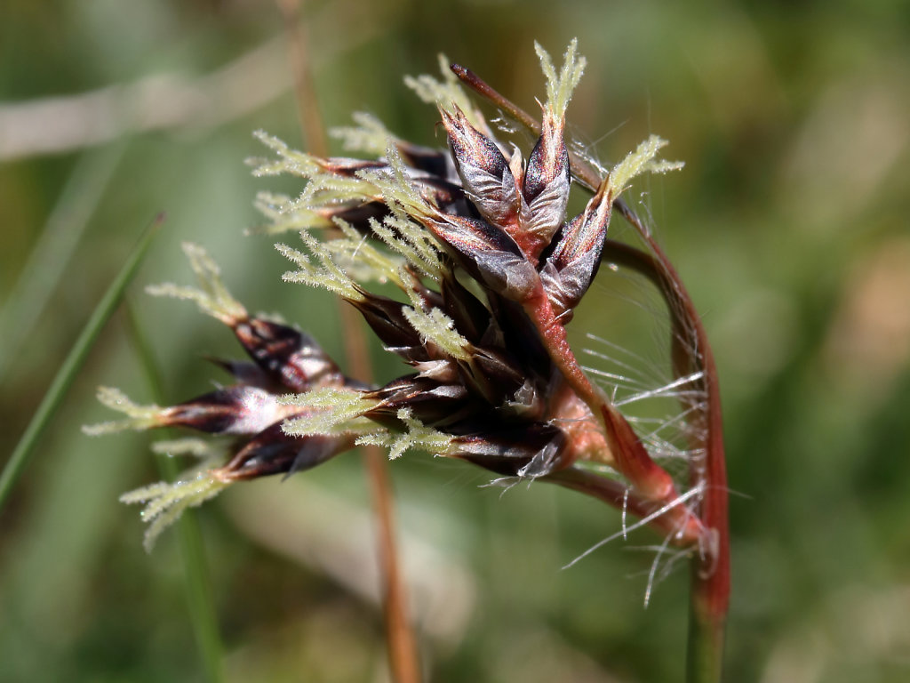 Luzula campestris (Field Wood-rush)