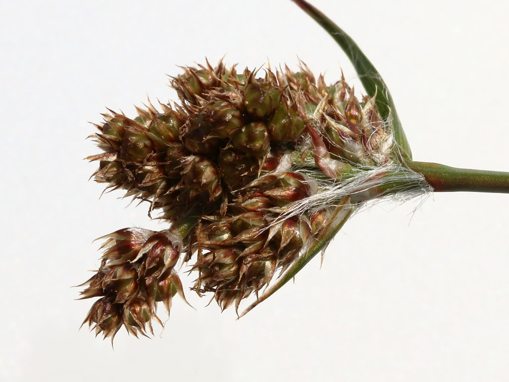 Luzula multiflora ssp. congesta (Heath Wood-rush)