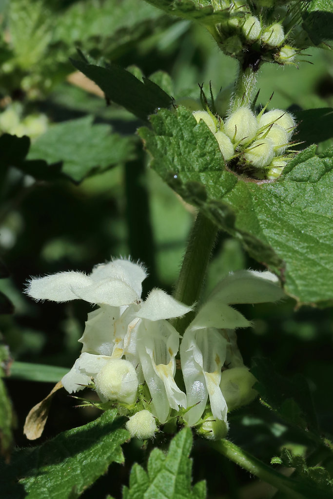 Lamium album (White Dead-nettle)