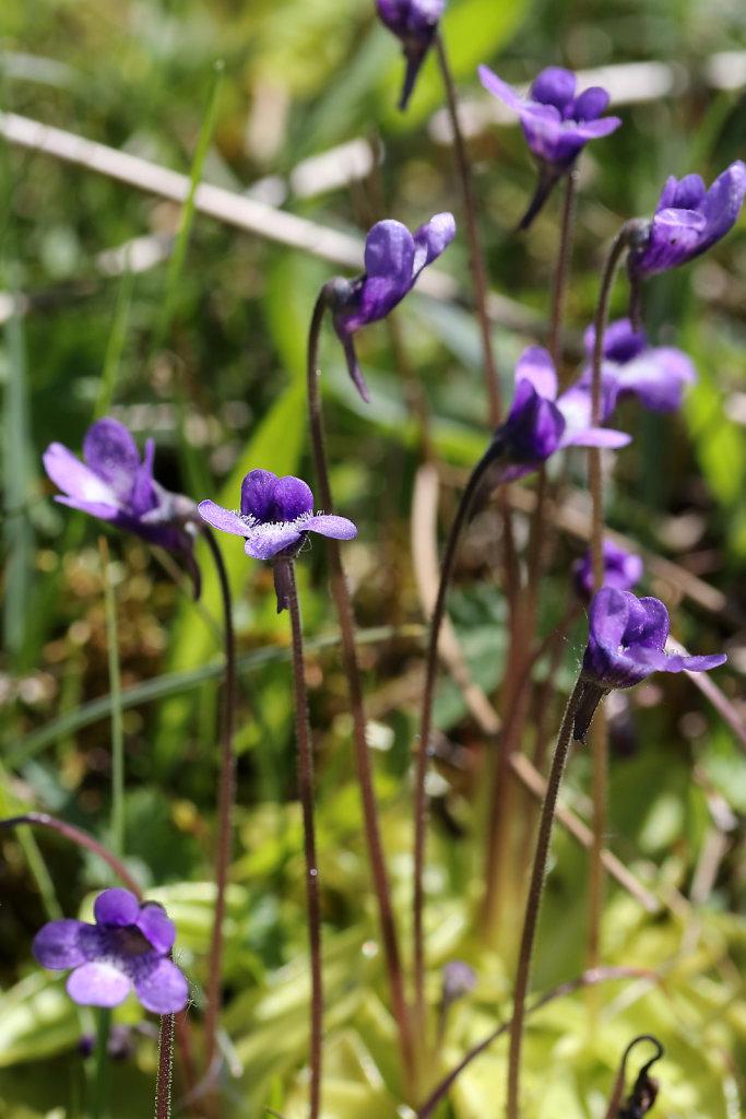 Pinguicula vulgaris (Common Butterwort)