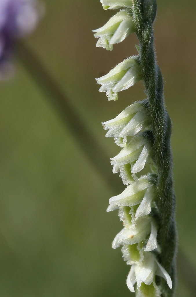 Spiranthes spiralis (Autumn Lady's-tresses)