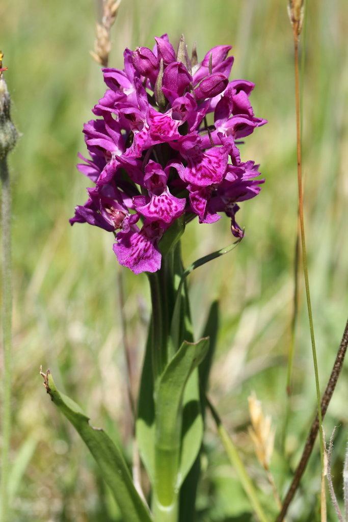 Dactylorhiza purpurella (Northern Marsh-orchid)