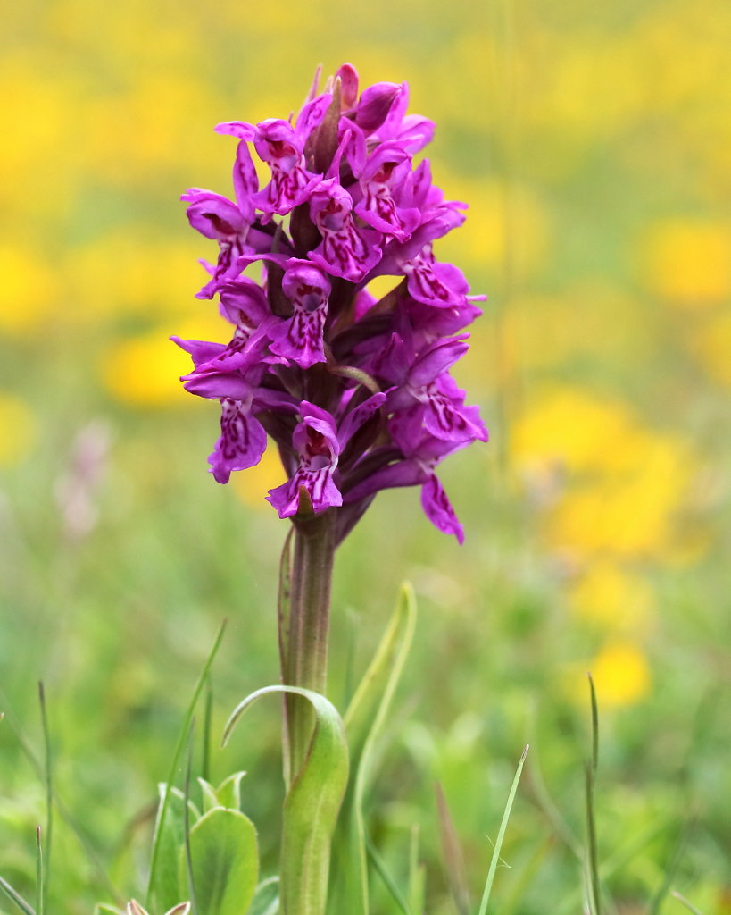 Dactylorhiza purpurella (Northern Marsh-orchid)