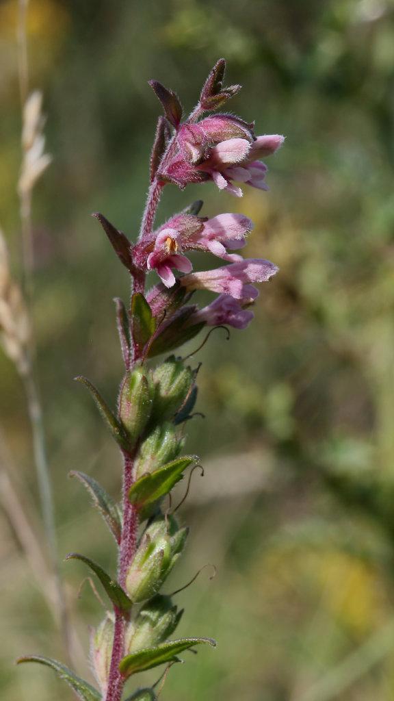 Odontites vernus (Red Bartsia)