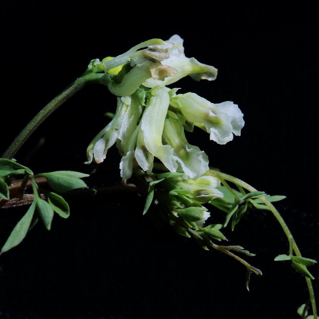 Ceratocapnos claviculata (Climbing Corydalis)