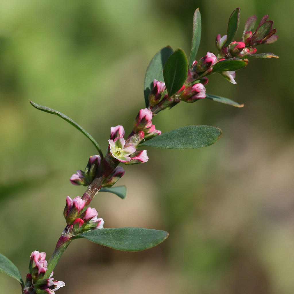 Polygonum aviculare (Common Knotgrass)