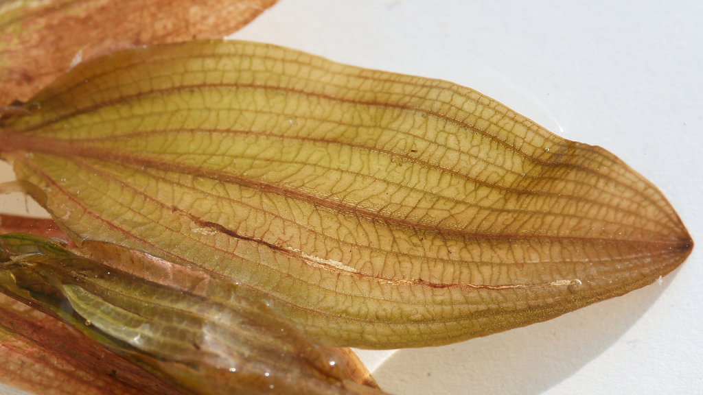Potamogeton coloratus (Fen Pondweed)