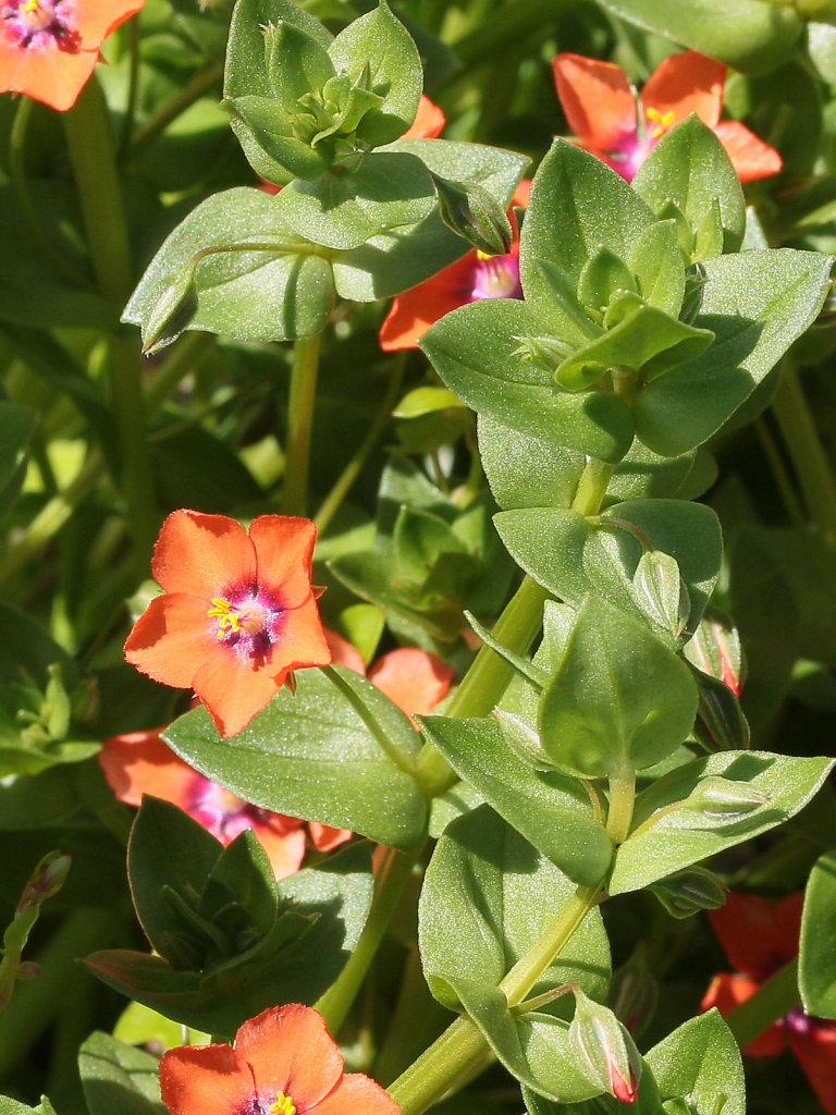 Lysimachia arvensis (Scarlet Pimpernel)