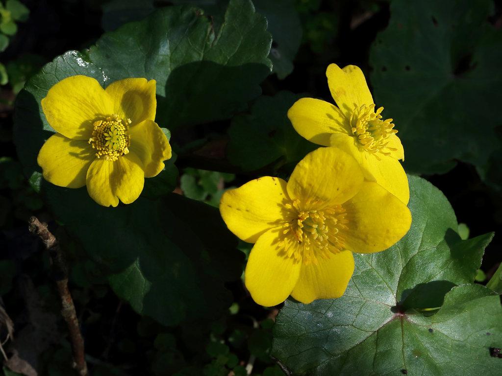 Caltha palustris (Marsh-marigold)
