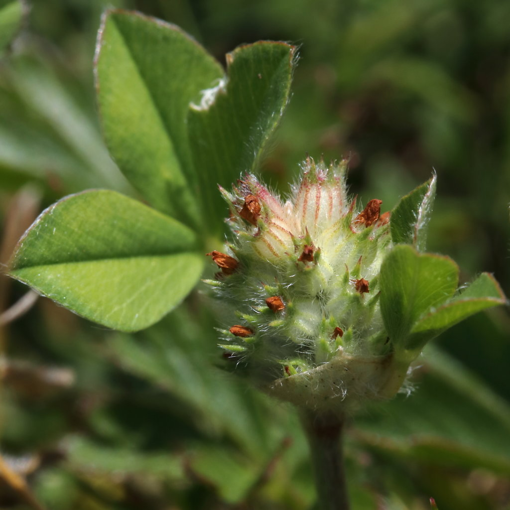 Trifolium striatum (Knotted Clover)