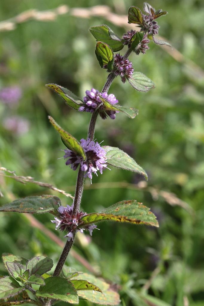 Mentha x verticillata (Whorled Mint)