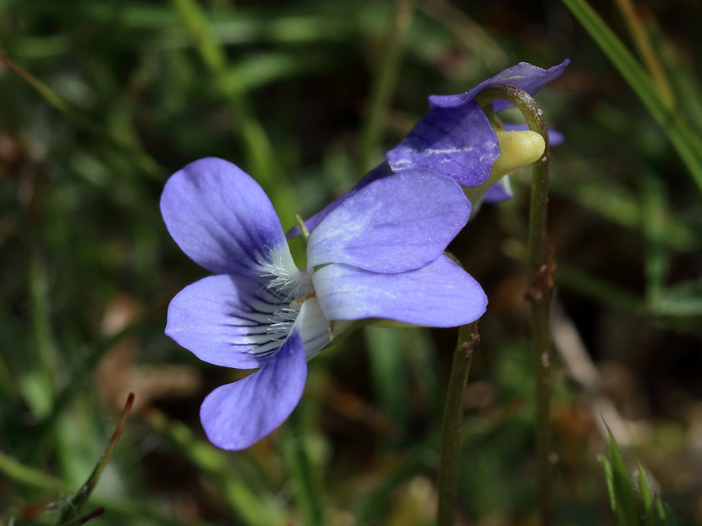 Viola canina (Heath Dog-violet)