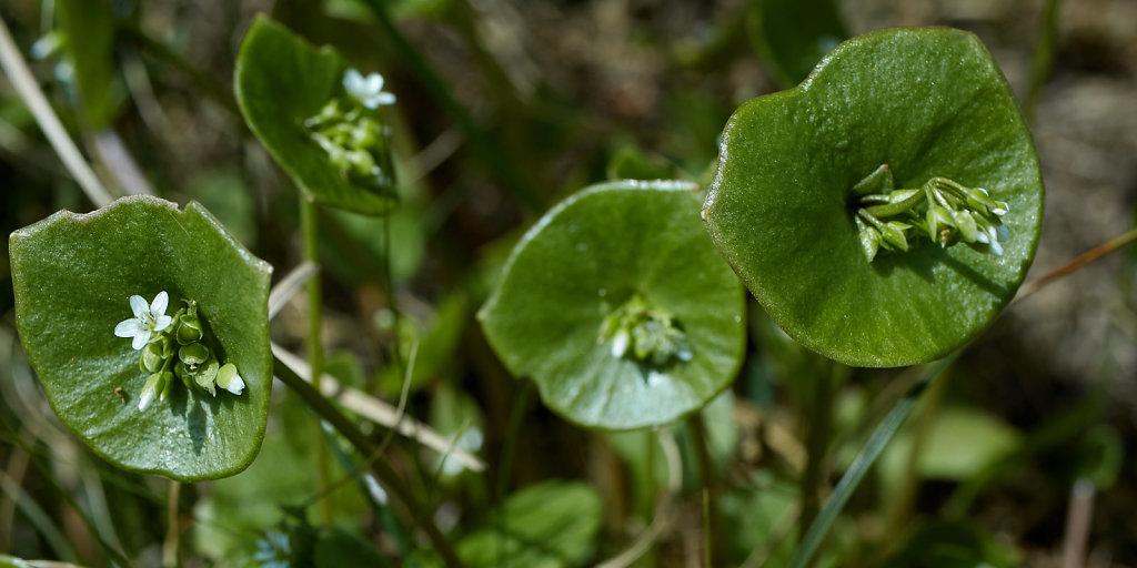 Claytonia perfoliata (Springbeauty)