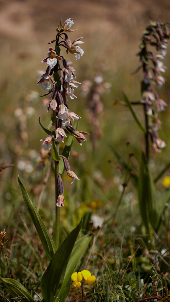 Epipactis palustris (Marsh Helleborine)