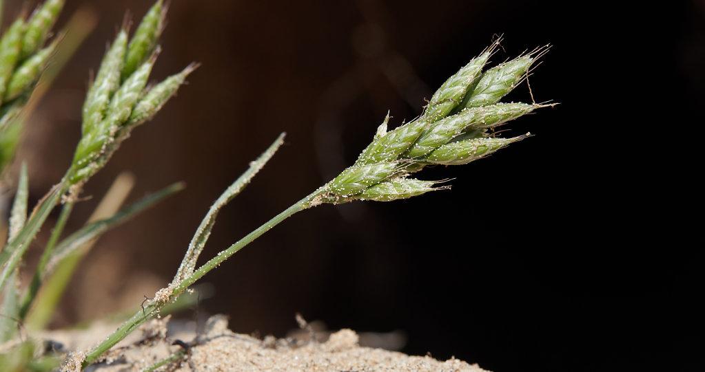 Bromus hordeaceus ssp thominei (Sand Soft Brome)