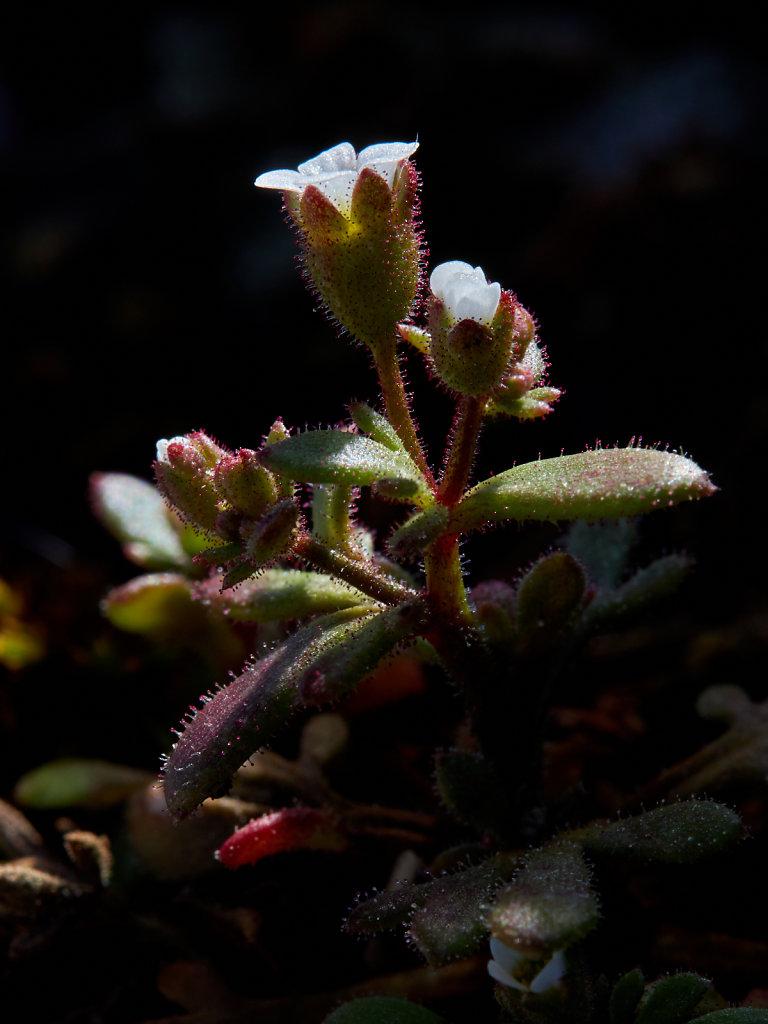 Saxifraga tridactylites (Rue-leaved Saxifrage)