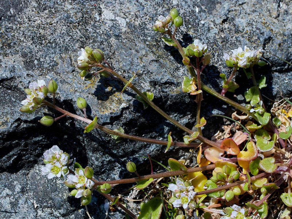Cochlearia danica (Danish Scurvygrass)