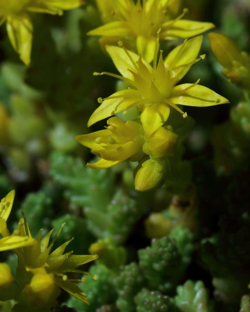 Sedum acre (Biting Stonecrop)