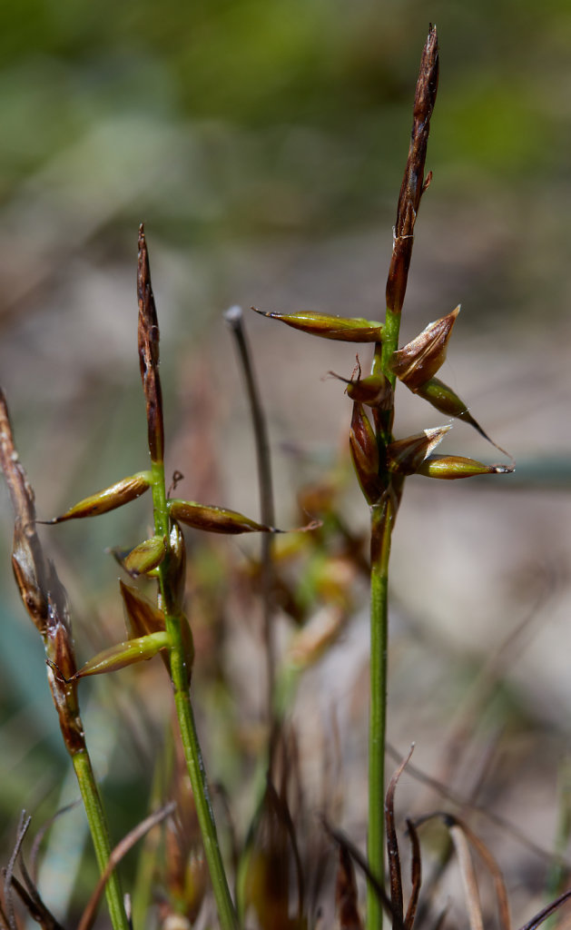 Carex pulicaris (Flea Sedge)