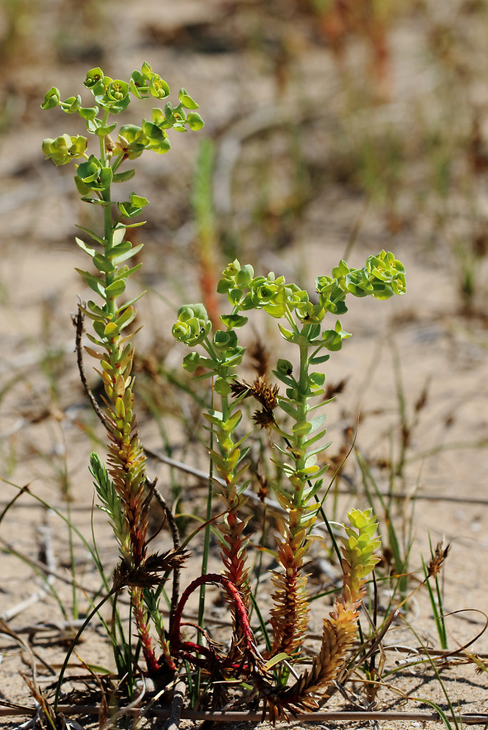 Euphorbia paralias (Sea Spurge)