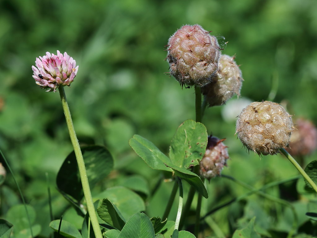 Trifolium fragiferum (Strawberry Clover)