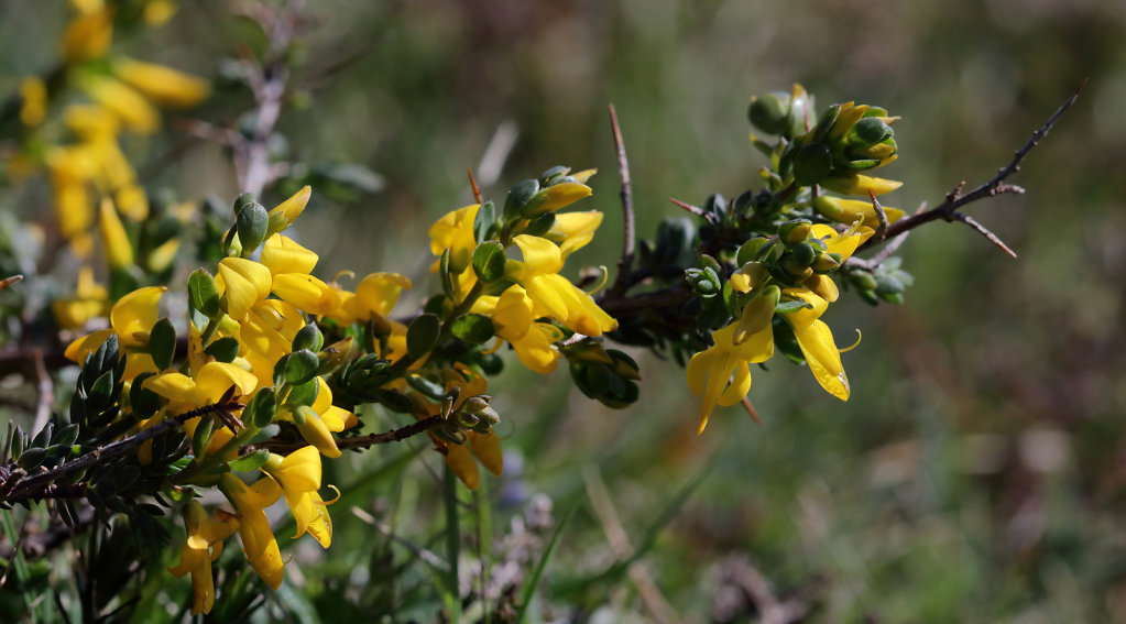 Genista anglica (Petty Whin)