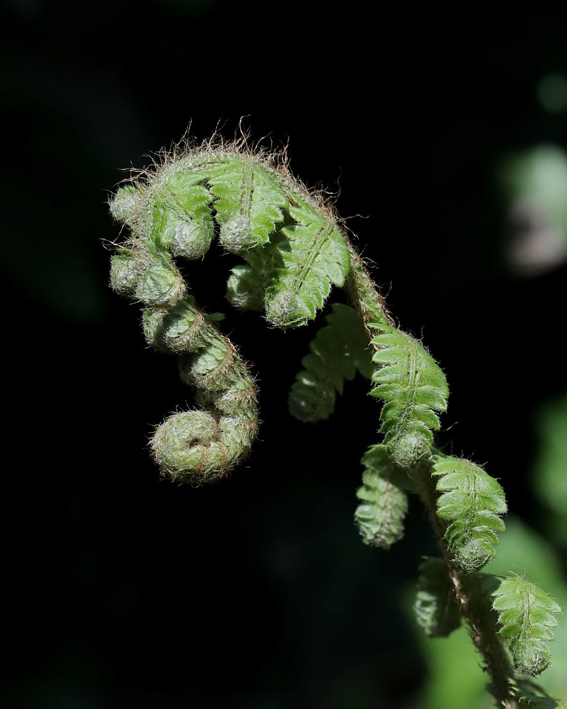 Polystichum setiferum (Soft Shield-fern)