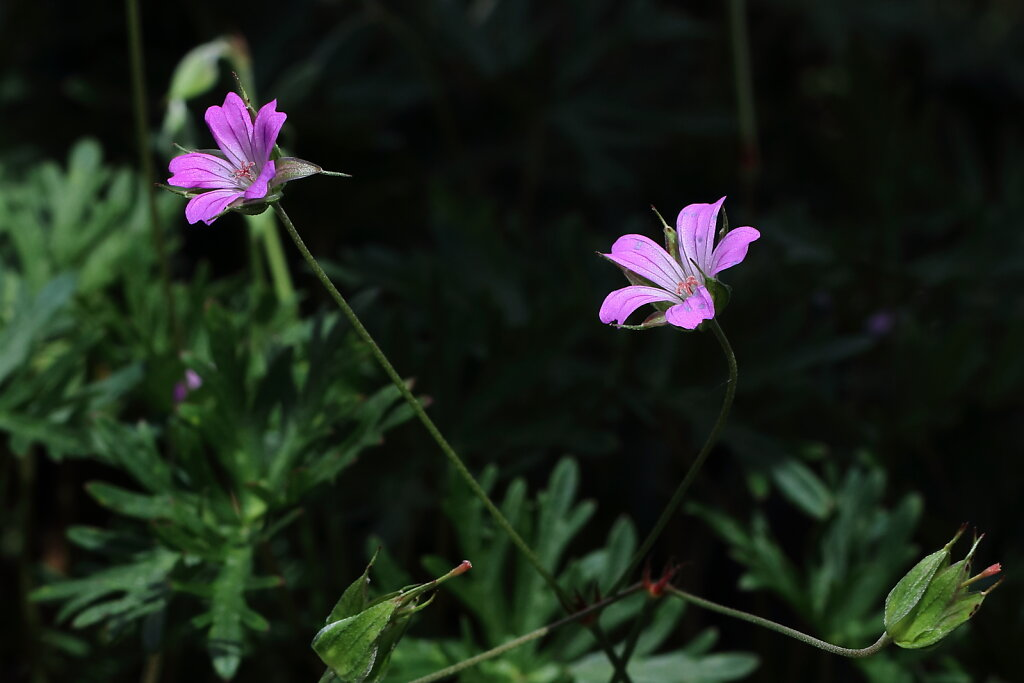 Geranium columbinum (Long-stalked Crane's-bill)