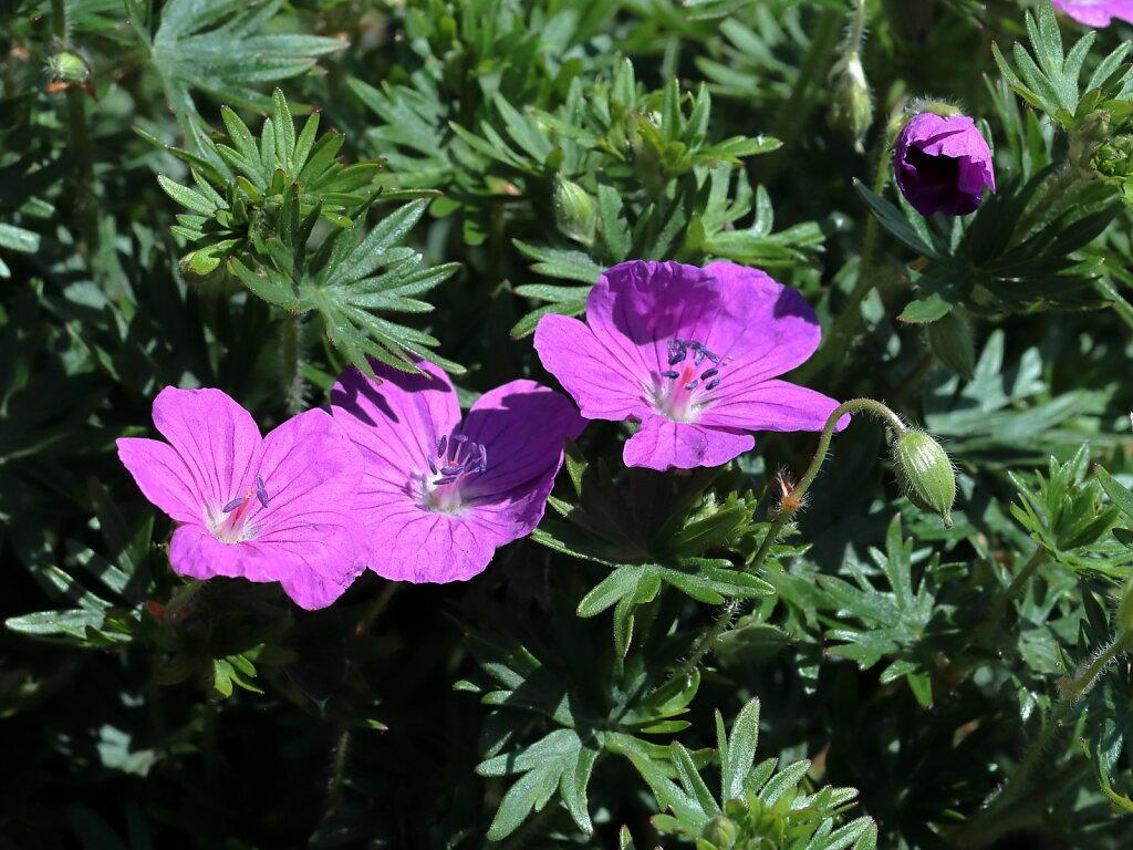Geranium sanguineum (Bloody Crane's-bill)