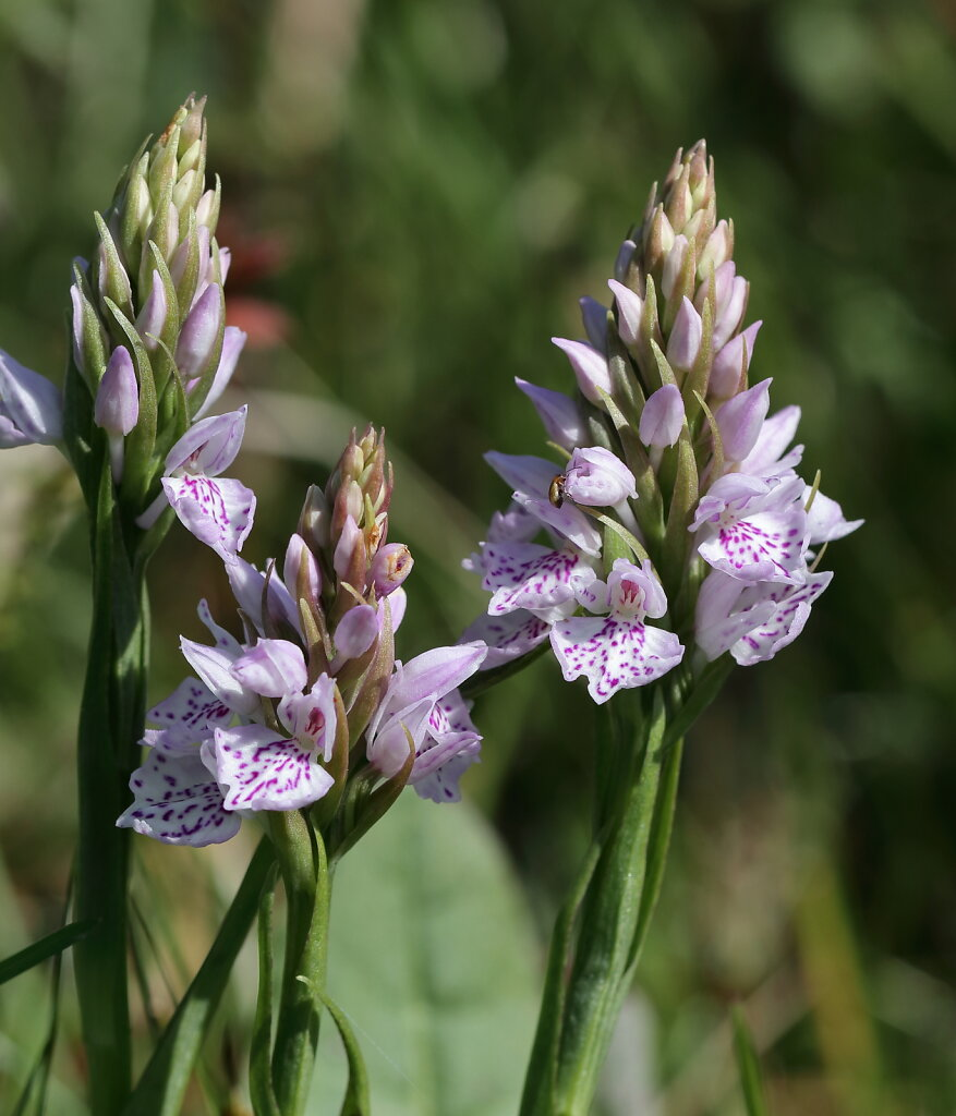 Dactylorhiza maculata (Heath Spotted-orchid)