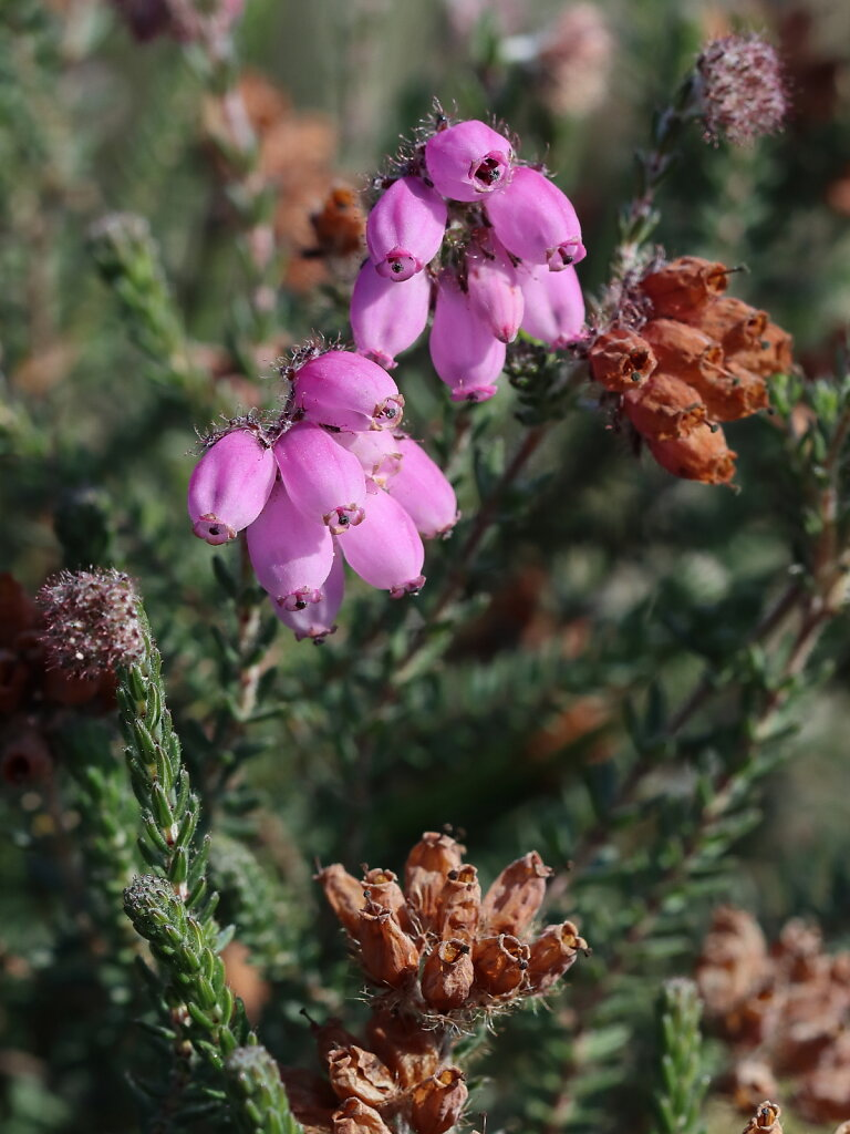 Erica tetralix (Cross-leaved Heath)