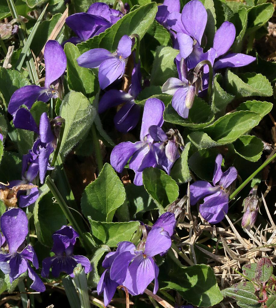 Viola hirta (Hairy Violet)